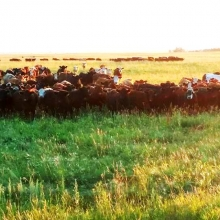The morning sun shining down on some of our grass cattle