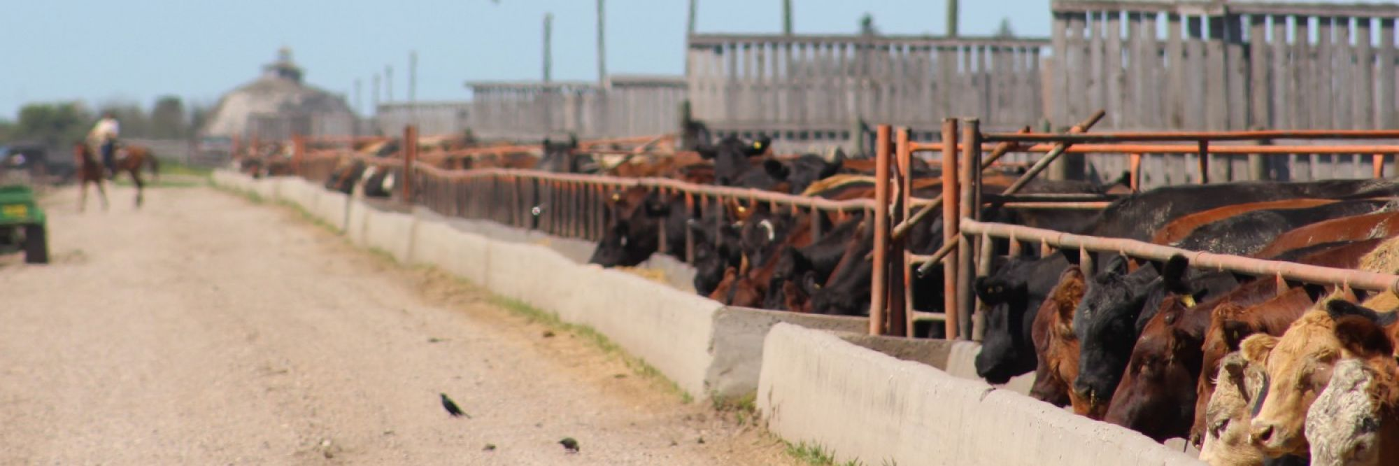 Canada's First Integrated  Feedlot / Ethanol Facility